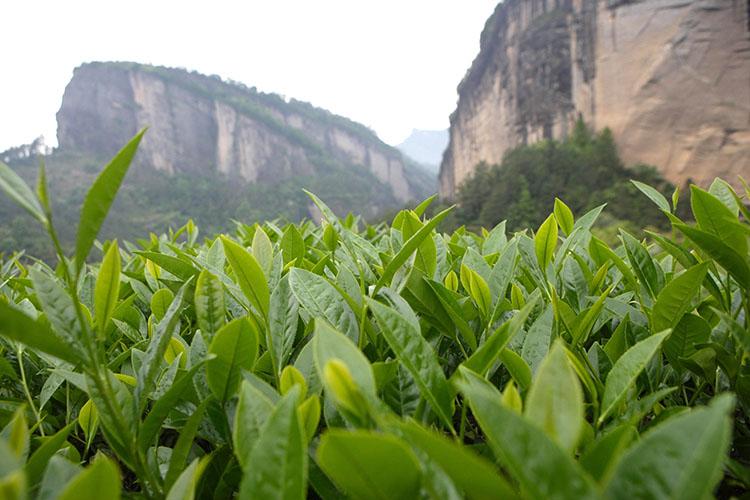 铁罗汉茶树
